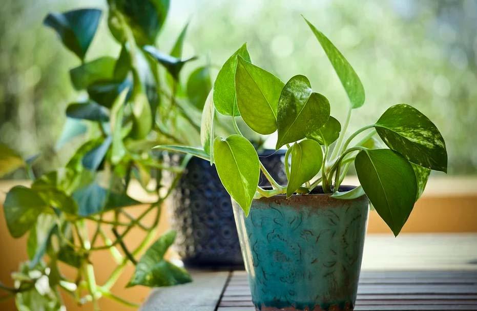 Pothos plante intérieur